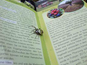 Zebra- oder Wespenspinne (Argiope bruennichi)