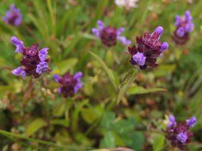 Kleine Braunelle (Prunella Vulgaris L.)