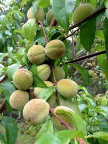 Leckere Pfirsiche im Frühstadium