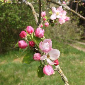 Die rötliche Blüte des Korbiniansapfel