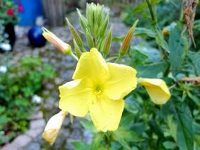 … die Nachtkerze – eine wahre Wunderblume!