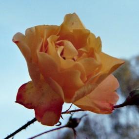 ... eine Rose mit zartem Duft