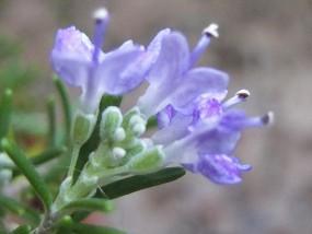 … jede kleine Knospe wird zur Blüte