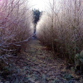 Birken, idyllisch mit Reif