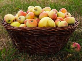 Äpfel für den Viererlei-Apfel-Kuchen